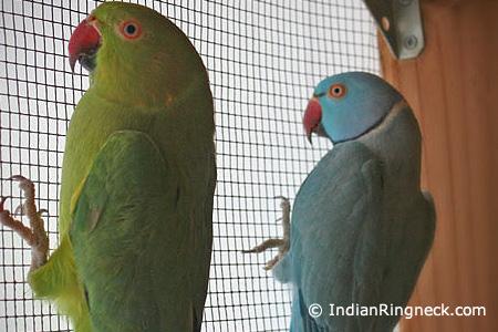 Breeding-Indian-Ringnecks