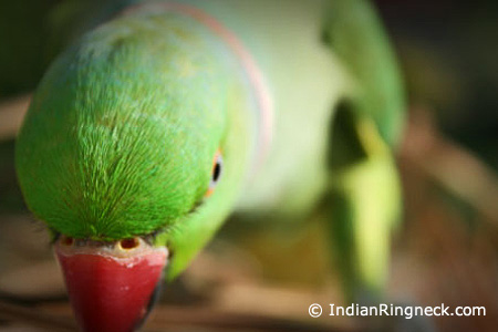 New-Indian-Ringnecks