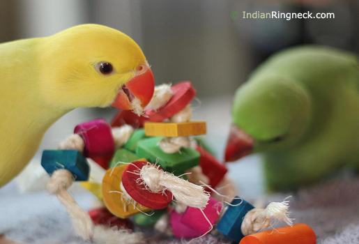 Pet-Indian-Ringnecks