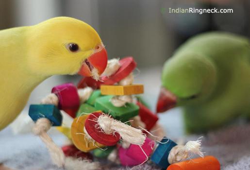 Pet-Indian-Ringnecks
