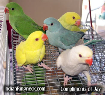 Ringneck+parakeet+mutations