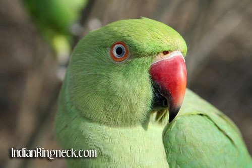 how to look after a australian ringneck parrot