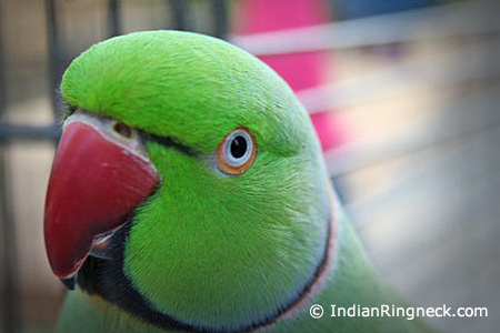 Cage-Indian-Ringnecks