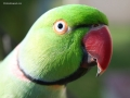 beautiful-male-ringneck