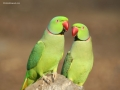 two-ringnecks-sitting-on-log